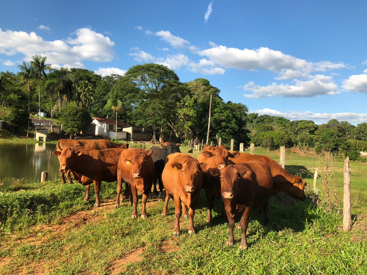 Venda de RED ANGUS  ABERDEEN