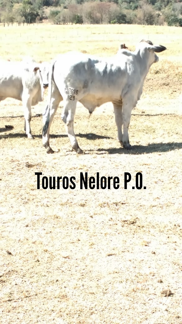 VENDA TOUROS NELORE P.O.